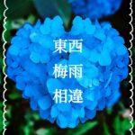 紫陽花と梅雨